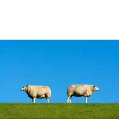 Animal #005, Schapen, Eemshaven, 2018